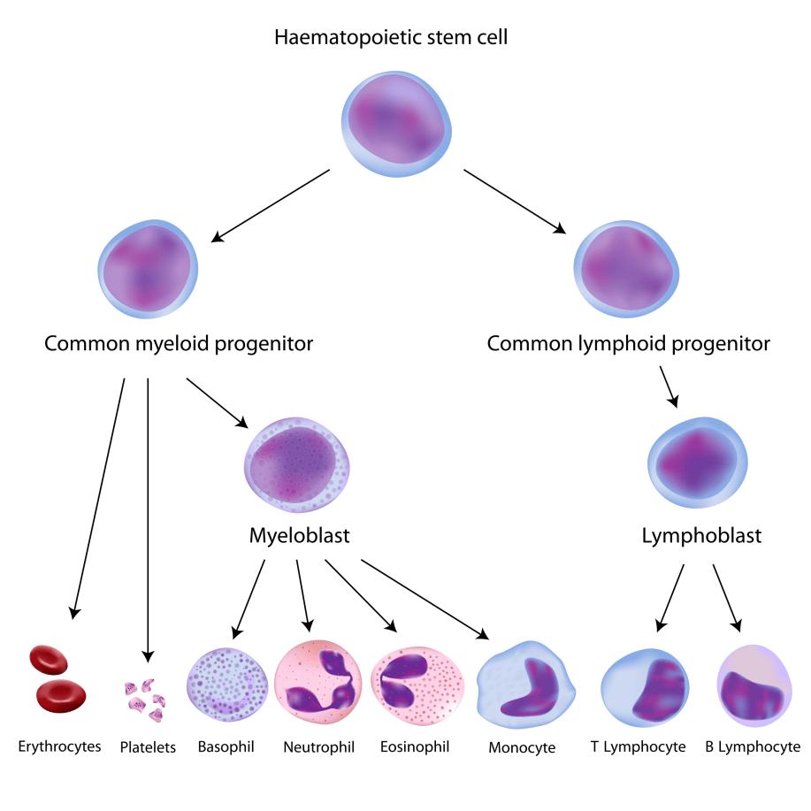 Terapia cu celule stem poate vindeca o serie de boli in 2018